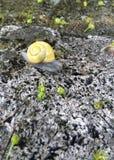与黄色壳的蜗牛坐岩石 免版税库存图片