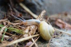 与黄色壳的蜗牛 库存图片