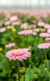 与黄色心脏的淡粉红的开花的大丁草绽放从关闭 免版税图库摄影