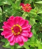 与黄色星细节的明亮的桃红色百日菊属大丽花花 免版税库存图片