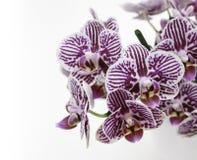 与紫色条纹的白色orhid花 免版税库存图片