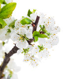 与绿色板簧静物画的分支开花的树 免版税库存图片