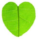 与绿色柚木树叶子纹理的心脏形状 库存照片