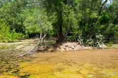 与绿色树和仙人掌的热带沼泽 免版税库存图片