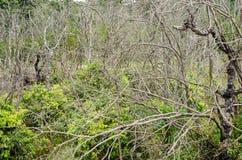 与绿色树的干燥死的树 库存照片