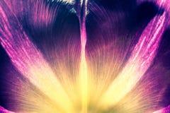 与黄色核心特写镜头宏指令的紫色郁金香 老减速火箭的葡萄酒样式照片 免版税图库摄影