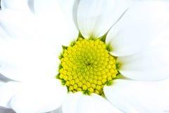 与黄色核心特写镜头背景纹理的白色菊花花 一朵白色菊花的黄色核心开花在阳光下 库存图片