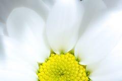 与黄色核心特写镜头背景纹理的白色菊花花 一朵白色菊花的黄色核心开花在阳光下 免版税库存照片