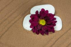 与紫色格伯的三块白色石头 免版税库存图片