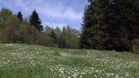 与绿色森林围拢的春黄菊花的谷,晴天 股票录像