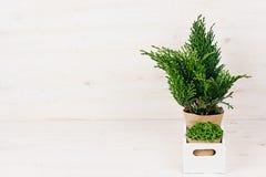 与年轻绿色植物的白色现代minimalistic内部有拷贝空间的箱子的在米黄木桌上 免版税库存照片