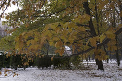 与黄色槭树的分支在第一雪的背景离开在秋天公园在11月 免版税库存照片