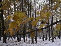 与黄色槭树的分支在第一雪的背景离开在秋天公园在11月 库存照片