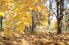 与黄色槭树的抽象背景在狂放的秋天森林离开 免版税库存图片