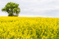 与黄色油菜籽领域的风景 库存照片