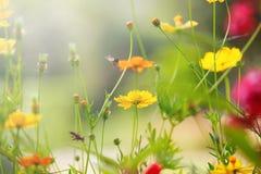与黄色波斯菊花田的美好的光与浅景深作为自然本底,背景的用途 库存照片