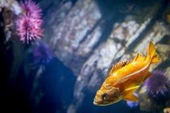 与紫色海胆的橙色鱼游泳在岩石前面 库存照片