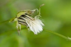 与绿色消极空间的蒲公英种子 免版税图库摄影