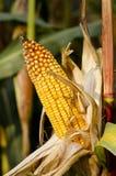 与黄色玉米棒的玉米在秋天 免版税库存图片