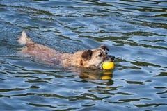 与黄色球的愉快的抢救狗游泳 免版税库存图片