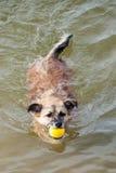 与黄色球的逗人喜爱的小狗游泳在嘴 免版税库存照片