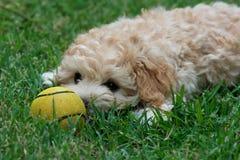 与黄色球的逗人喜爱的小狗 免版税库存照片