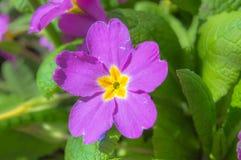 与黄色瓣的紫色花在绿色叶子背景 免版税图库摄影