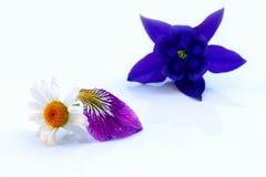 与紫色百合叶子和aquilegia的白色延命菊 免版税库存照片