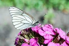 与黑色的一只白色蝴蝶 库存照片
