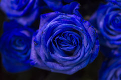 与绿色的一朵蓝色玫瑰在黑暗的背景离开 免版税库存图片