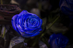 与绿色的一朵蓝色玫瑰在黑暗的背景离开 库存照片