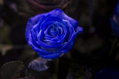 与绿色的一朵蓝色玫瑰在黑暗的背景离开 库存图片