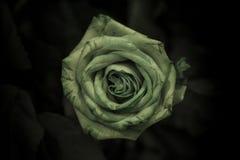 与绿色的一朵绿色玫瑰在黑暗的背景离开 免版税库存图片