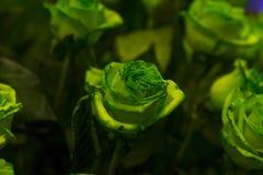 与绿色的一朵绿色玫瑰在黑暗的背景离开 库存图片