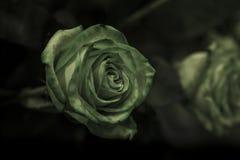 与绿色的一朵绿色玫瑰在黑暗的背景离开 免版税库存照片