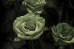 与绿色的一朵绿色玫瑰在黑暗的背景离开 免版税图库摄影
