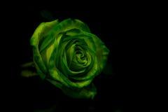 与绿色的一朵绿色玫瑰在黑暗的背景离开 库存照片