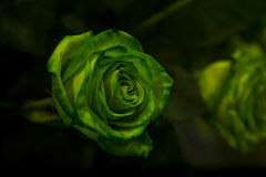 与绿色的一朵绿色玫瑰在黑暗的背景离开 图库摄影