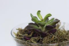 与紫色的多汁植物 库存照片