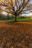 与黄色的大秋天树在绿色gr离开 图库摄影
