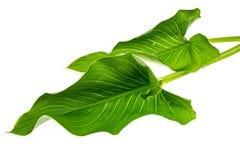 与绿色的开花的白色水芋属在轻的背景离开 免版税库存照片