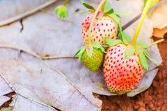 与绿色的新鲜的未成熟的草莓在温床离开在种植园 免版税图库摄影