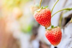 与绿色的新鲜的草莓在温床离开在种植园 库存照片