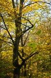 与黄色的树在森林离开在一晴朗的秋天天 库存照片