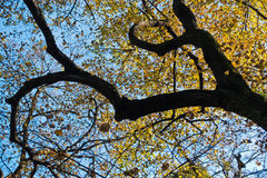 与黄色的树干离开反对蓝天在秋天, Kosutnjak森林,贝尔格莱德 图库摄影