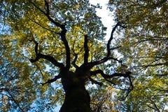 与黄色的树干离开反对蓝天在秋天, Kosutnjak森林,贝尔格莱德 免版税库存图片