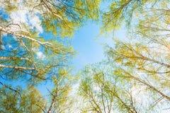 与绿色的桦树在春天森林离开反对天空 免版税图库摄影
