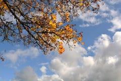 与黄色的槭树分支离开反对蓝天 库存照片