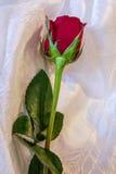 与绿色的火红色玫瑰离开放置在一种白色缎织品 图库摄影