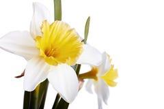与黄色的白色在白色背景的一棵水仙。 免版税图库摄影